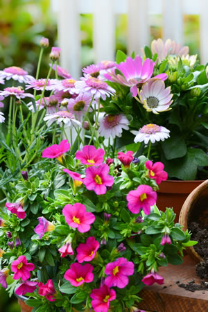 Pflanzung von Petunien