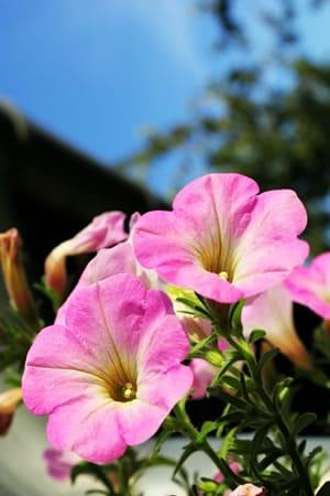 rosa Petunien