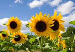 Sonnenblumen im Beet