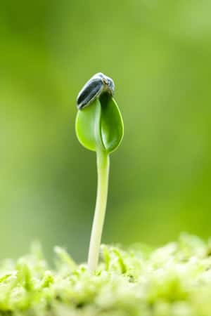 junger Sonnenblumenkeim