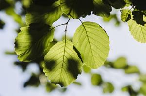 Blätter am Haselnussbaum