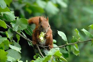 Haselnussbaum und Eichhörnchen