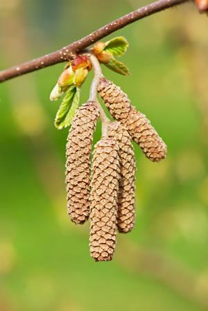 Außergewöhnlich Baum-Hasel, Haselnussbaum - Pflanzen und Schneiden - Gartendialog.de #PD_16