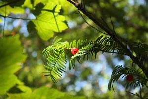 Frucht an Eibenzweig