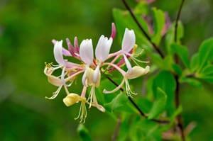 weiße Blüte von Lonicera