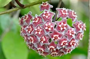 Hoya Wachsblume