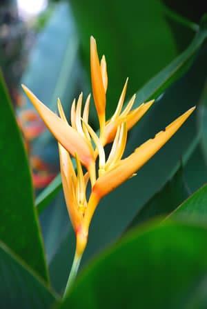 Blüte der Strelitzia