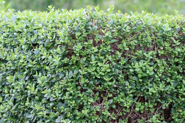 Liguster Heckenpflanzen
