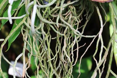 Orchideenwurzeln