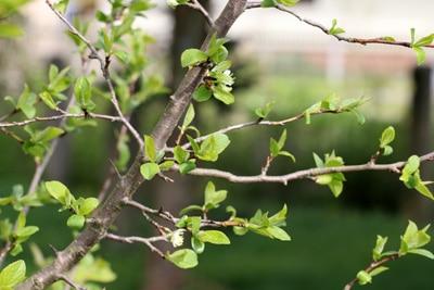 Pflaumenbaum Obstbaumveredelung