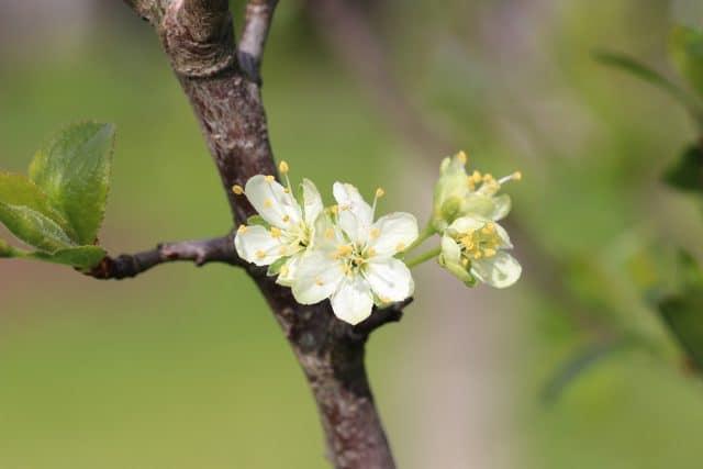 Sehr Pflaumenbaum - Pflanzen, Schneiden und Krankheiten - Gartendialog.de EO55