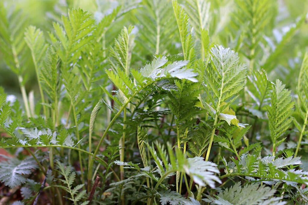 Rainfarn (Tanacetum vulgare