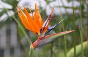 Paradiesvogelblume, Strelitzie