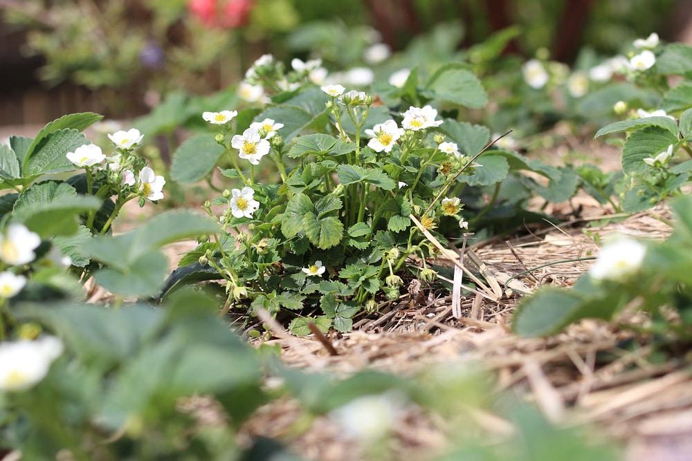 Fragaria pflanzen