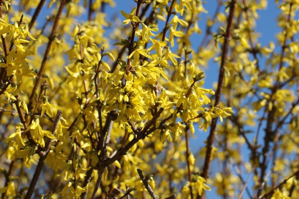 Forsythie Sträucher, Frühlingsblüher