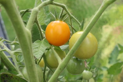 gelbe Tomate