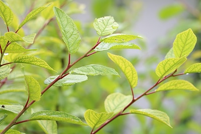 Aprikose, Marille, Prunus armeniaca