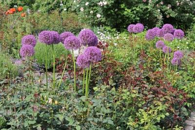 Allium Zierlauch