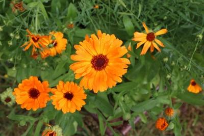Ringelblume Blumenwiese