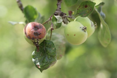 Apfel Malus faul