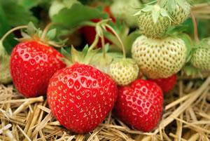 Erdbeeren im Beet