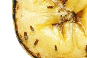 Fruchtfliegen auf einer Banane