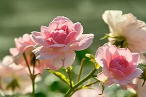 rosa Beetrosen