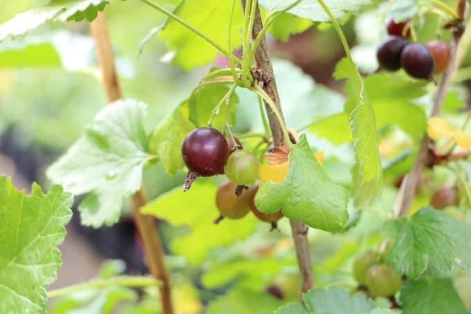 Geliebte Jostabeere, Josta - Pflanzen, Pflege und Schneiden - Gartendialog.de &KB_63
