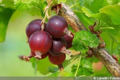 Ribes × nidigrolaria