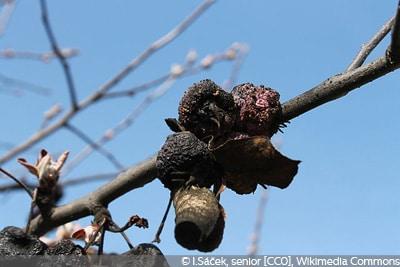 Monilia Fruchtfäule