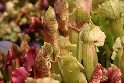 Schlauchpflanze, fleischfressende Pflanze