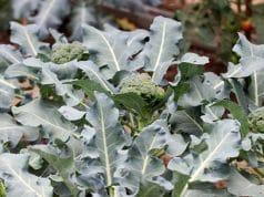 Brokkoli Herbst Gemüse