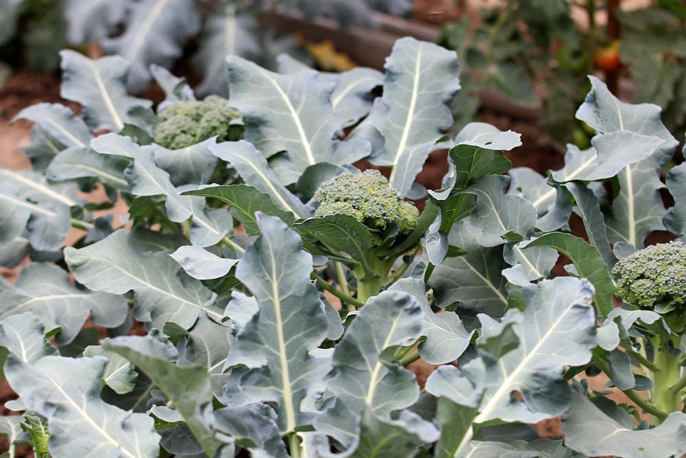 Brassica oleracea, Wintergemüse