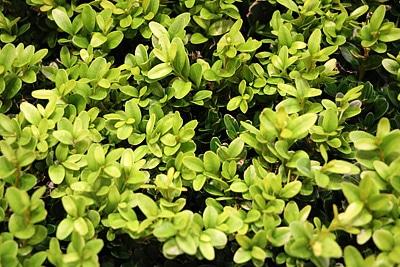 Buchsbaum Giftpflanzen