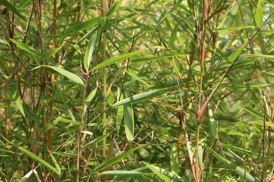 Bambus Fargesia rufa