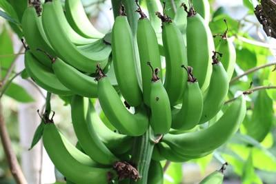 Banane, Musa basjoo