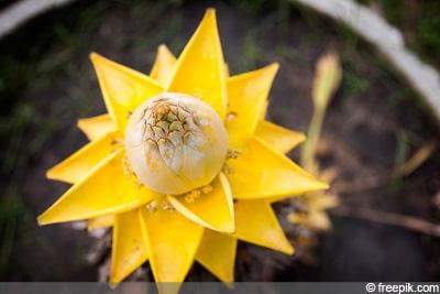 Golden Lotus Banane