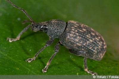Dickmaulrüssler Käferarten