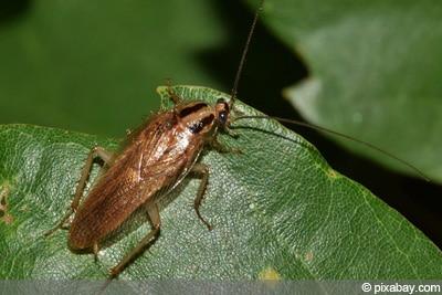 Schaben Insektenarten