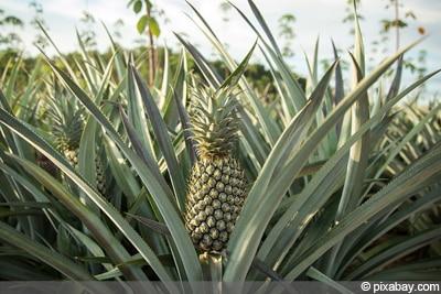 Ananas-Pflanze