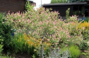 Harlekinweide - Salix integra - Zierweide