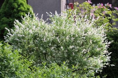 Harlekinweide Salix integra Zierweide