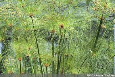 Papyrus-Pflanze