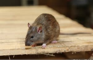 Rattenbekämpfung Ratte