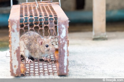 Rattenbekämpfung Rattenfalle