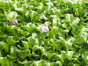 Wasserhyazinthe Pflanze
