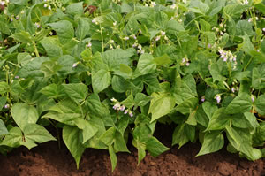 Buschbohnen im Gemüsebeet