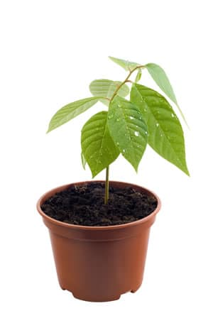 Cherimoya Pflanze