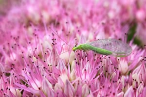 Florfliege auf Blüte