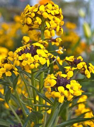 Blüte des Goldlacks